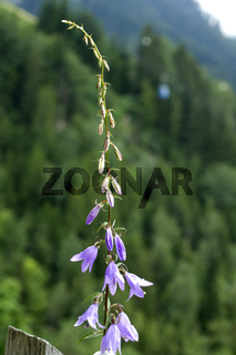 Rapunzel-Glockenblume, Campanula, rapunculus