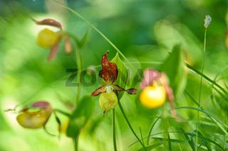 Gelber Frauenschuh - Yellow Ladys Slipper Orchid - Cypripedium calceolus