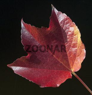 Weinblatt im Herbst,