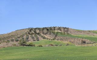 Olivenbaumplantagen
