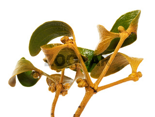 Wet greenish-yellow branch of common mistletoe Viscum album with foliage