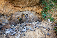 Small eurasian eagle-owl chicks looking from nest in rocky cliff