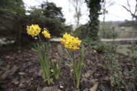 Narzisse, Osterglocke, Narcissus