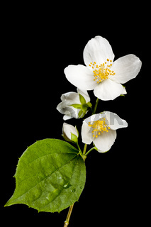 Blossoms of philadelphus coronarius four phases of vegetation