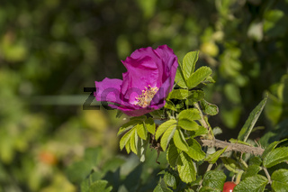 Blüte der Kartoffelrose (Rosa rugosa)
