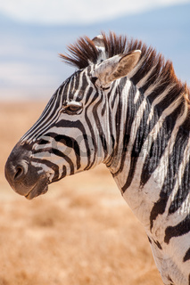 Portrait of a Zebra