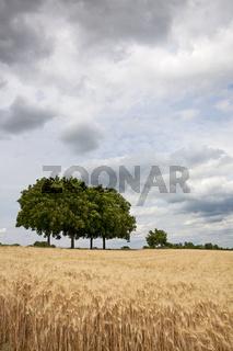 Getreidefeld mit Walnussbaum vor Wolkenhimmel