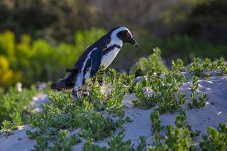 Humboldt-Pinguin (Spheniscus humboldti) in Südafrika