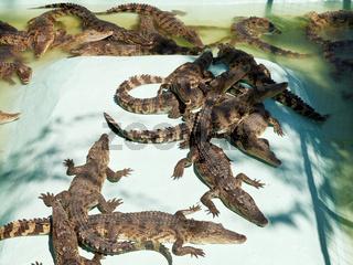 many young crocodiles on Crocodile Farm