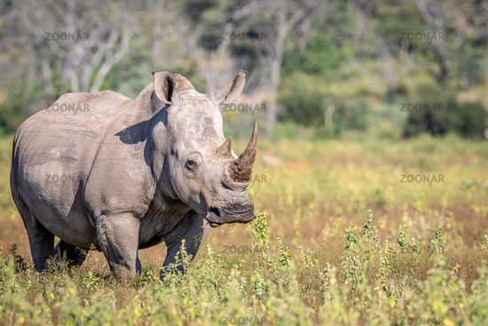 Female White rhino standing in the grass.