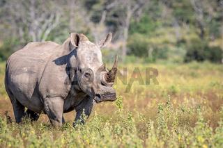Female White rhino standing in the grass.