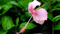 Pink hibiscus flower after rain