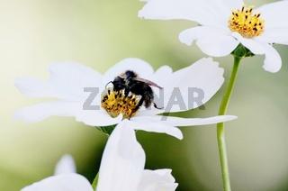 Biene auf einer weißen Blume mit gelben Pollen