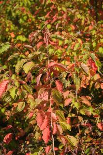 Prunus avium, Vogelkirsche, Sweet cherry