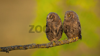 Alert eurasian scops owl looking aside to blank copy space in spring nature