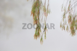 Weeping tree with beads of glistening water on a foggy morning