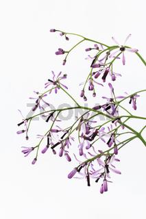 Persischer Flieder - Melia azedarach