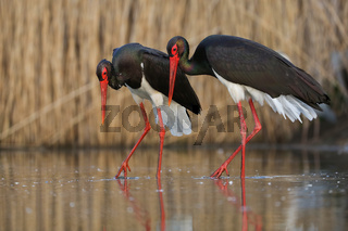 Couple of black storks walking side by side during courting ritual in wetland