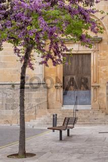 Judasbaum (Cercis siliquastrum) an der Kirche in Santanyi