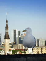 Seagull on a parapet of observation deck and the Town hall tower on a background. Tallinn. Estonia.