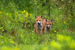 Two little cubs of red fox standing out of their hole on forest clearing