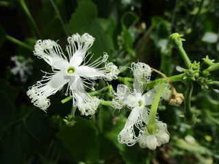 white flower of Exotic tropical Trichosanthes cucumerina