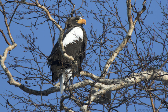 adult stellers eagle who sits on birch branches on a winter day