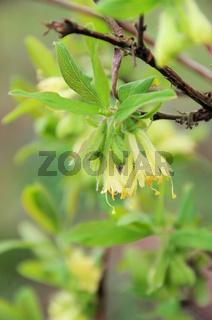 Maibeere Bluete - Lonicera kamtschatica blossom 05