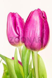 Rosane Tulpen