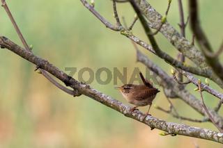 Tiny Wren (Troglodytes troglodytes) perched in a tree in springtime