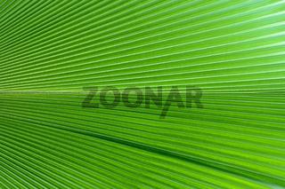 Fächerpalme (Pritchardia pacifica), Pazifikraum