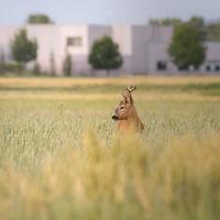 Roebuck on a cornfield