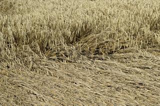 Getreidefeld; Getreidefeld Sturmschaden; Getreidefeld Windschade