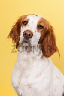 Portrait of Cross-breed Spaniel