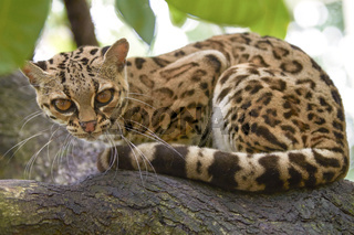 Margay beautiful cat sitting on the branch in the tropical forest