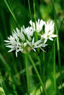 weiße Blüte, Bärlauch