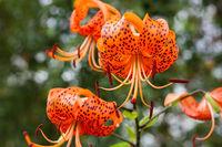 Tigerlilie im Garten