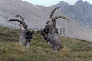 Kämpfende Alpensteinböcke, Nationalpark Hohe Tauern, Kärnten, Österreich, Europa / Capra Ibex
