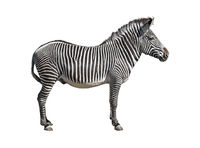 Grevy's zebra cutout