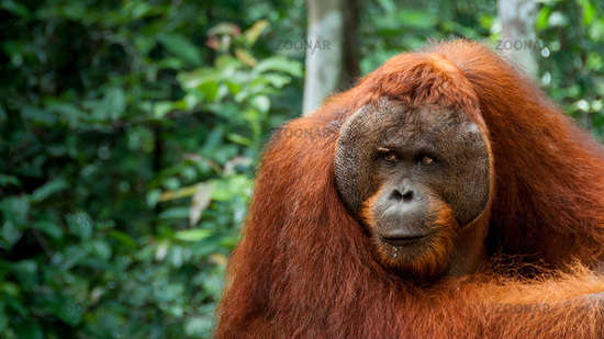 Alpha male Orang-Utan in Borneo