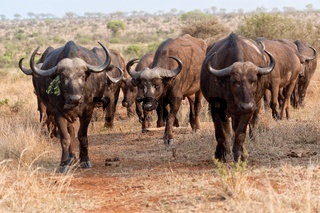 herd of buffaloes at kruger