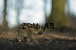 kleines Schweinchen unterwegs... Wildschwein *Sus scrofa*