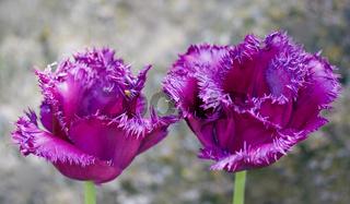 Gefranste Tulpe mascotte