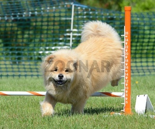 Chow Chow at a Dog Agility Trial