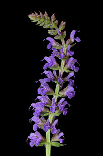 Steppen-Salbei (Salvia nemorosa)
