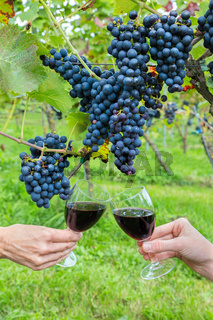 Two hands toasting with red wine near blue grapes