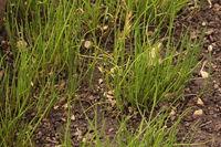 Schnittlauch(Allium schoenoprasum)