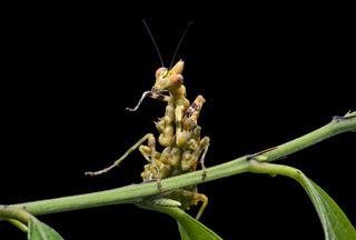 Gottesanbeterin (Callibia diana)