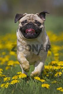 Mopswelpe rennt in einer Löwenzahnwiese