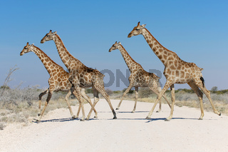 Giraffes crossing road in etosha national park namibia